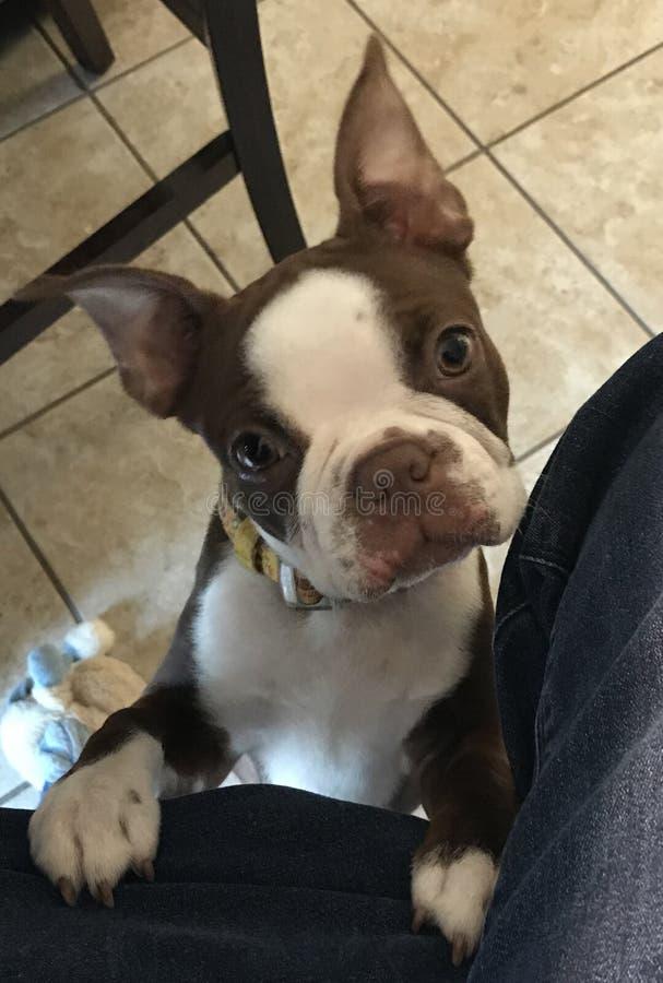 Boston Terrier fotografering för bildbyråer