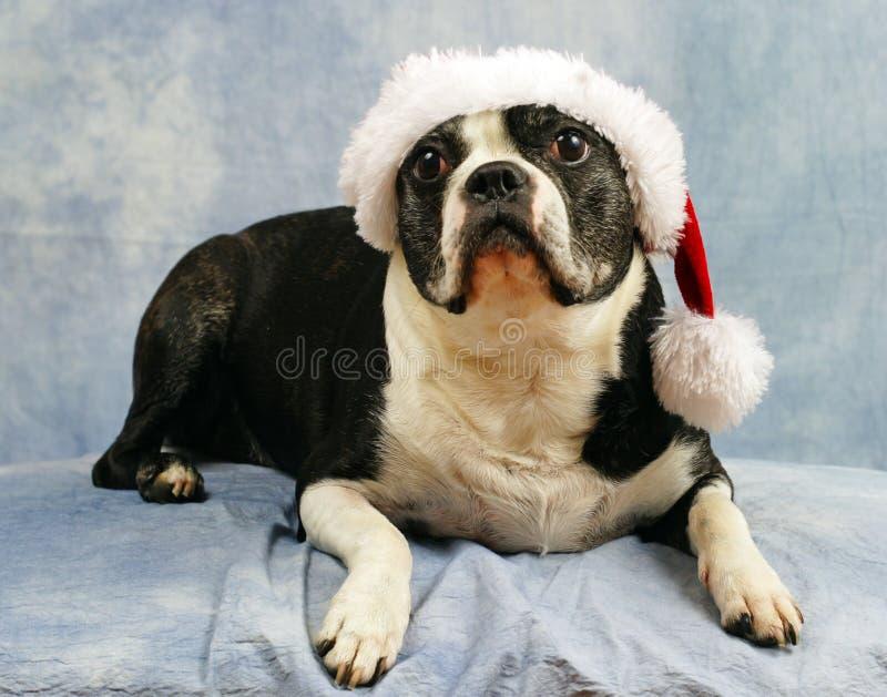Boston Terrier Wears Her Santa Hat Royalty Free Stock Photos