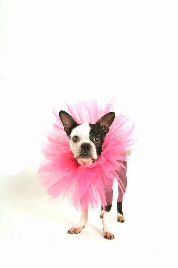 Free Boston Terrier With Ruffle Stock Photos - 17239113