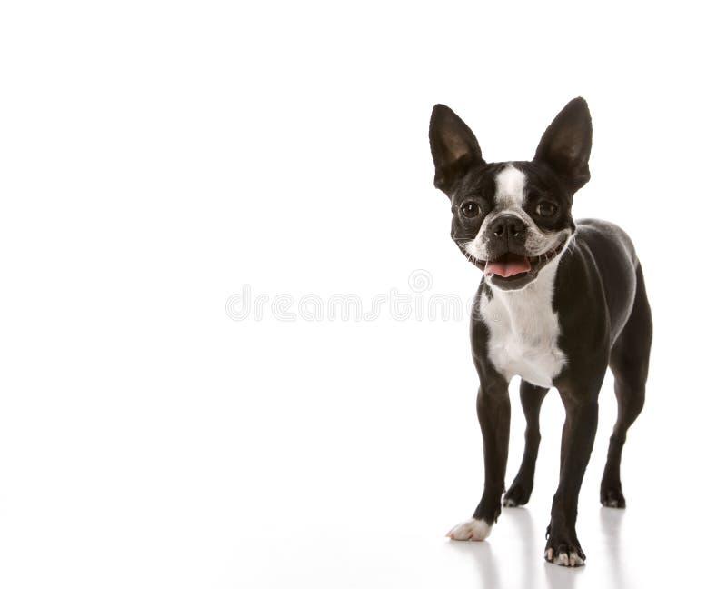 Boston-Terrierhund. lizenzfreies stockbild