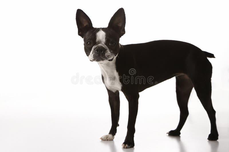 Boston-Terrierhund. lizenzfreie stockfotografie