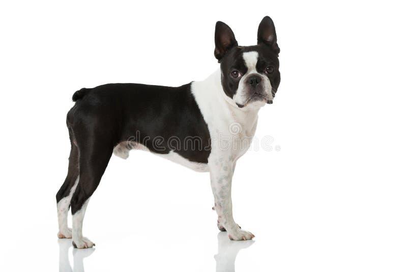 Boston terrierhund arkivbild