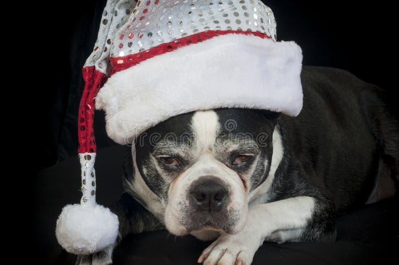 Boston terrierhund med julförklädnad arkivfoto