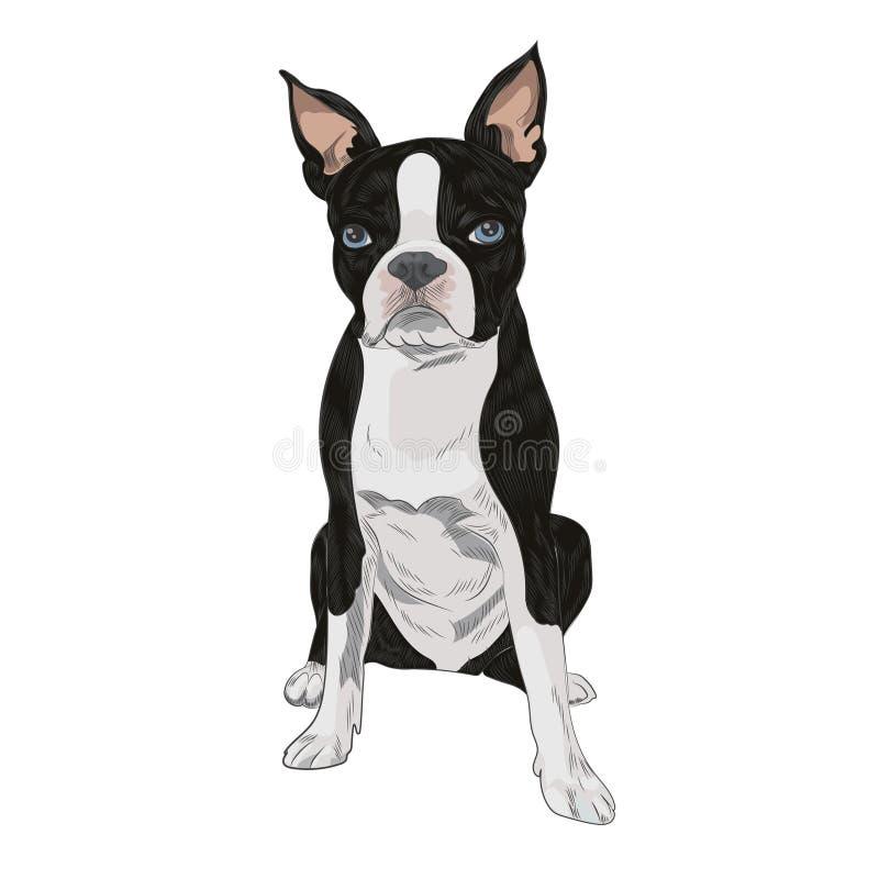 Boston-Terrierhunderasse lokalisiert auf weißem Hintergrund vektor abbildung
