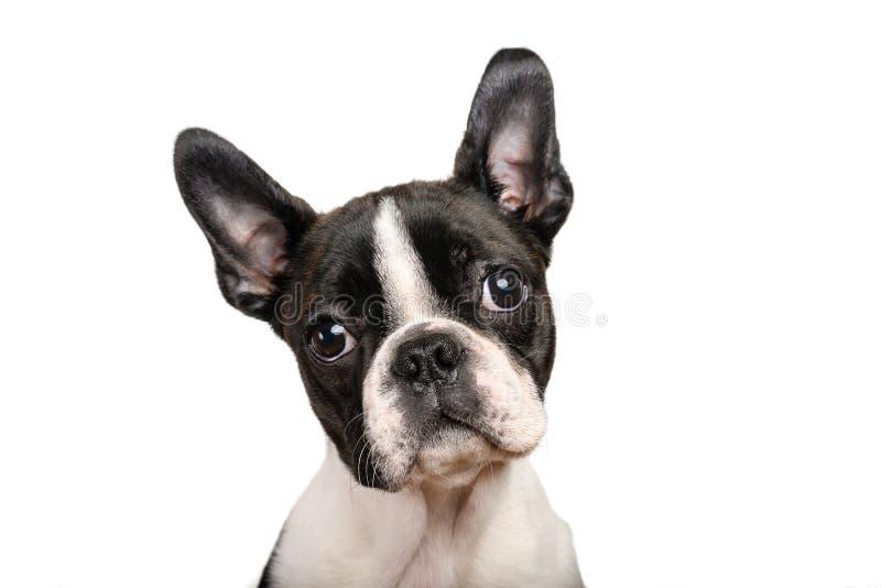 Boston-Terrierwelpe lokalisiert auf Weiß für Kopienraumgebrauch lizenzfreie stockbilder