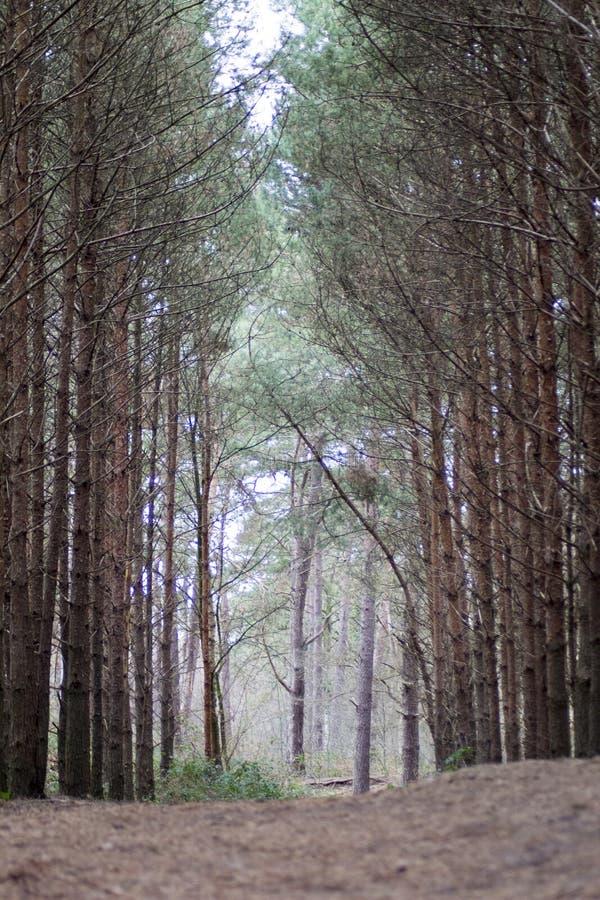 Bosweg die in naalden wordt behandeld royalty-vrije stock afbeelding