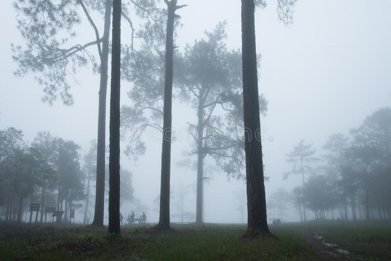 Bosweg met pijnboom en mist royalty-vrije stock fotografie