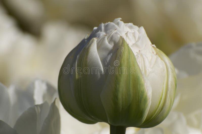 Botão branco do Paeonia foto de stock royalty free