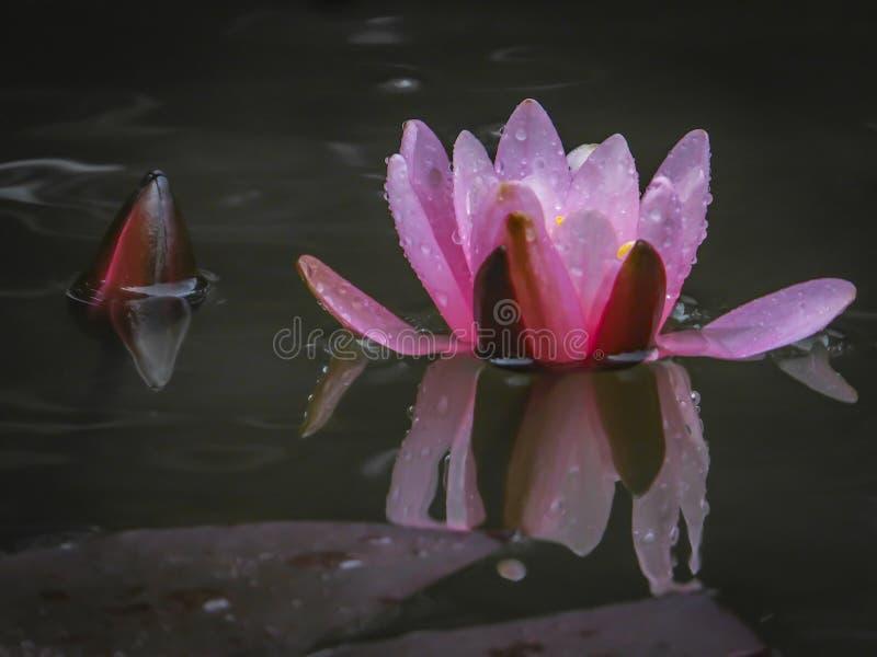 Botão cor-de-rosa brilhante de Marliacea Rosea do lírio de água ou da flor de lótus no orvalho da manhã Abre contra a água preta  fotos de stock royalty free