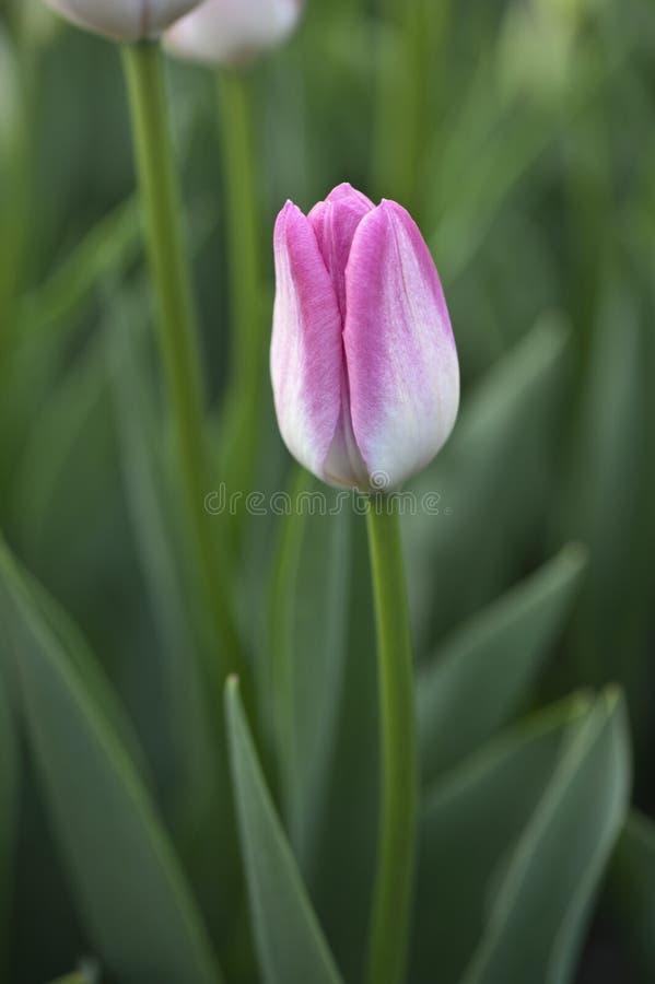 Botão cor-de-rosa e branco da tulipa fotografia de stock
