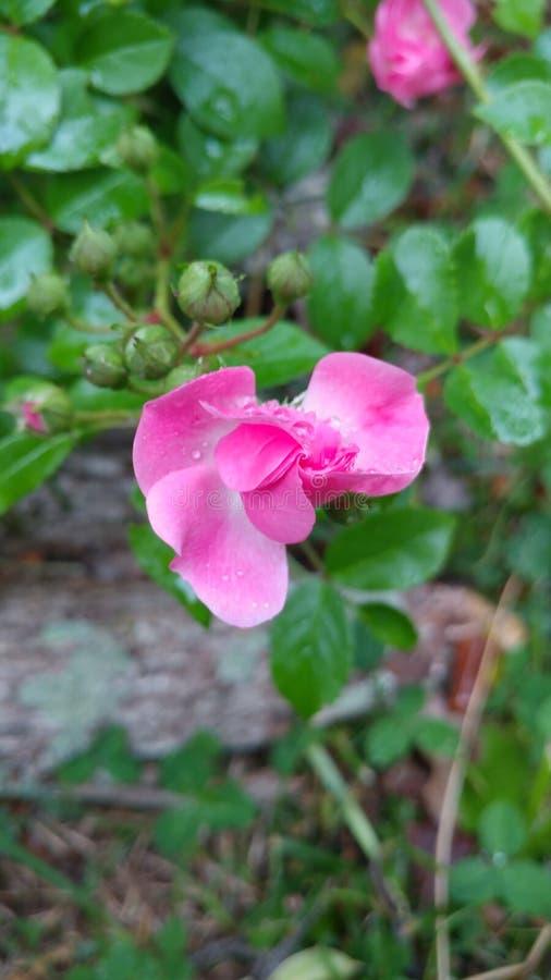 Botão cor-de-rosa de Rosa que floresce com gotas imagens de stock