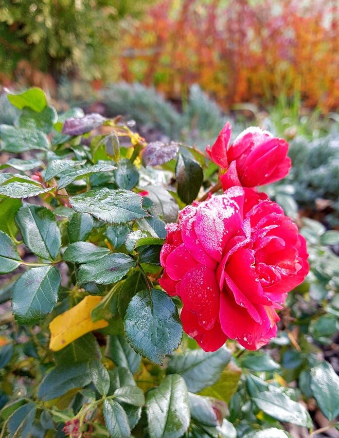 Botão cor-de-rosa vermelho no frio fotos de stock royalty free