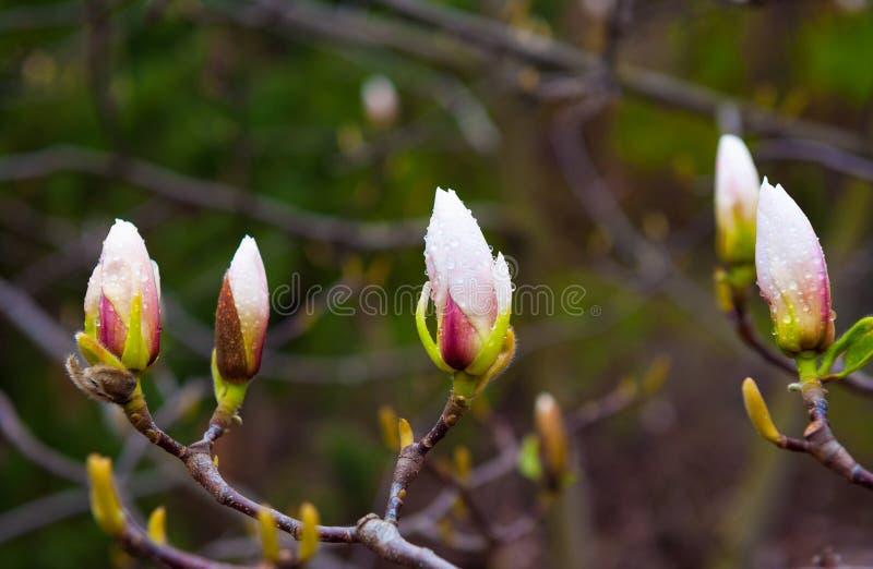 Botão da magnólia em um fim da árvore acima no parque da mola imagens de stock royalty free