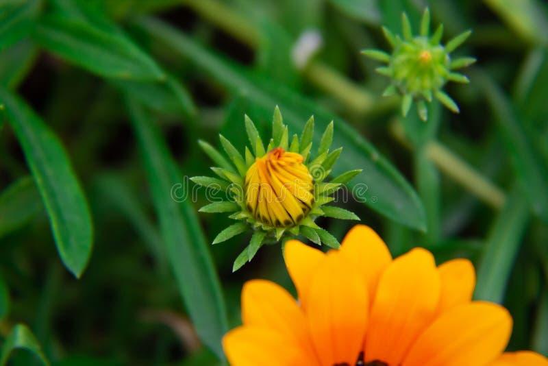 botão da Não-abertura de uma flor alaranjada do gazaniya Close-up imagens de stock royalty free