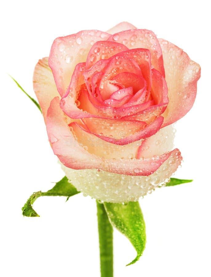 Botão da rosa do bege com gotas da água isolado no branco fotos de stock