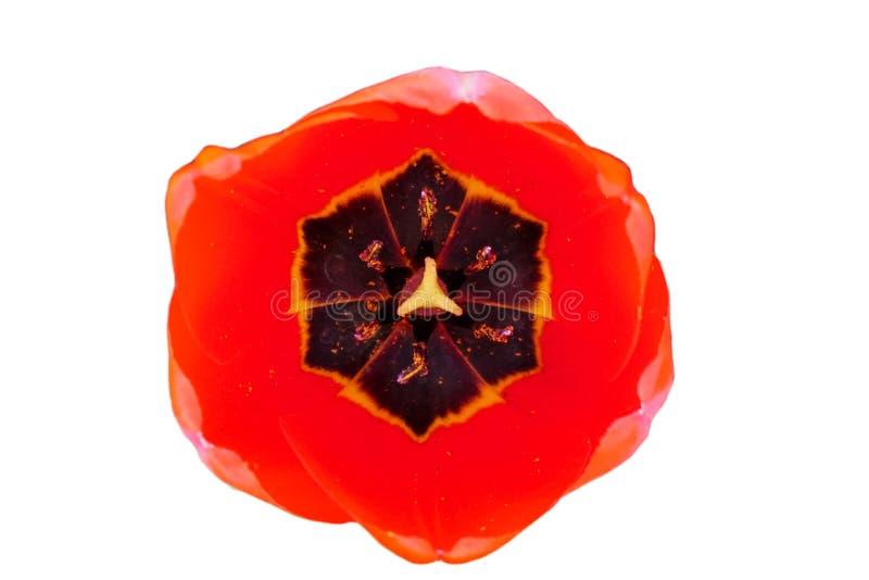 Botão da tulipa de florescência vermelha fotografia de stock royalty free