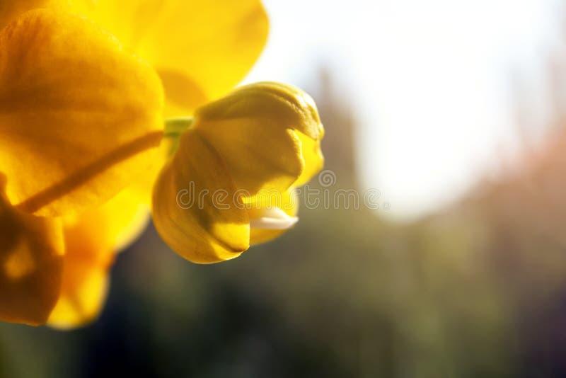 Botão de florescência bonito do phalaenopsis amarelo da orquídea em um dia ensolarado brilhante do outono fotos de stock royalty free