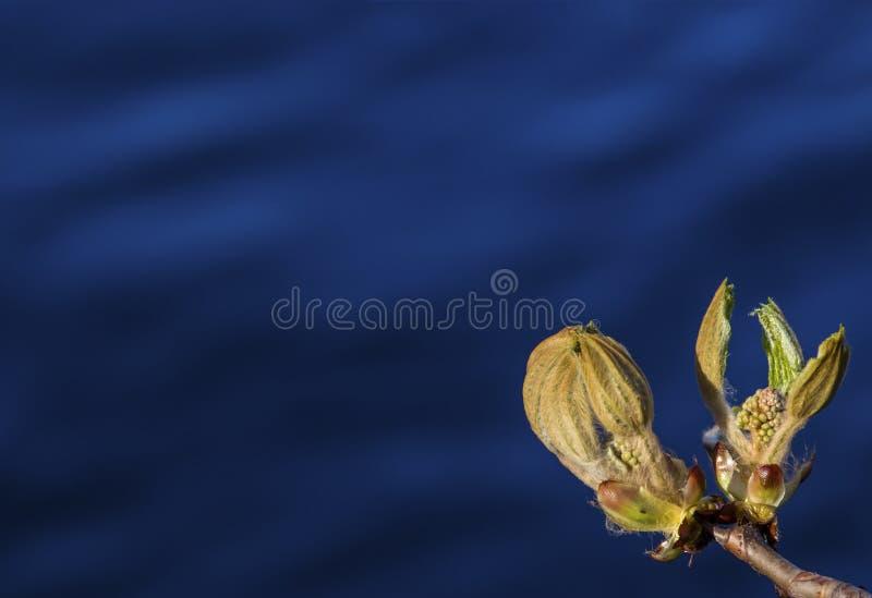 Botão de florescência da castanha na mola adiantada Fundo azul natural Dia ensolarado fotos de stock