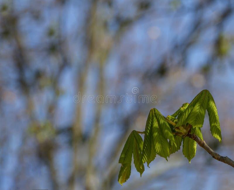 Botão de folhas da castanha na mola adiantada Fundo borrado Dia ensolarado imagem de stock