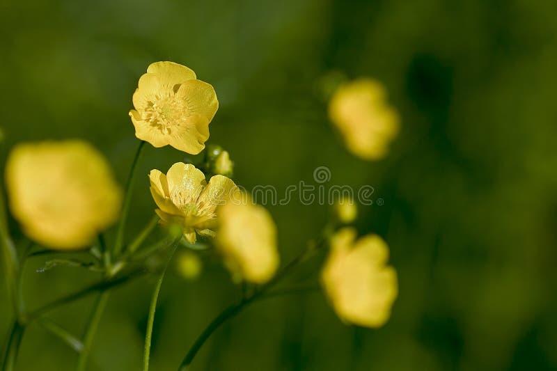 Botão de ouro fotografia de stock