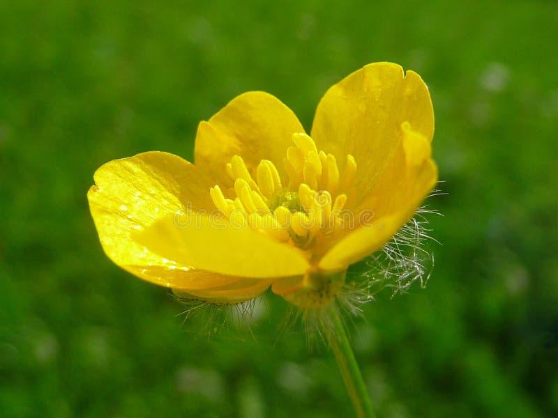 Botão de ouro de prado amarelo em um fundo verde imagem de stock royalty free