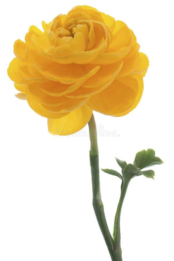 Botão de ouro persa fotos de stock royalty free
