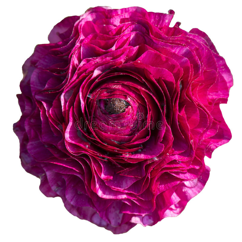 Botão de ouro persa cor-de-rosa imagem de stock royalty free