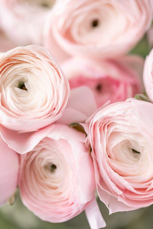 Botão de ouro persa nos vasos de vidro Grupo pálido - o ranúnculo cor-de-rosa floresce o fundo claro wallpaper Flores da estação  foto de stock