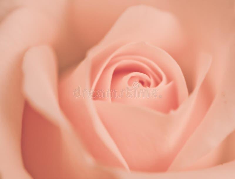 Botão de Rosa fotos de stock royalty free