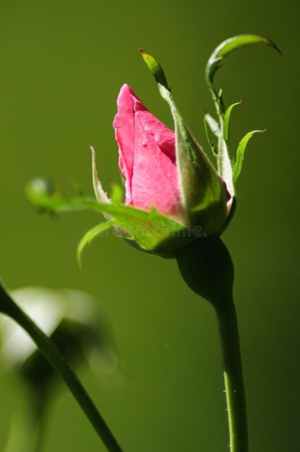 Botão De Rosa Foto de Stock