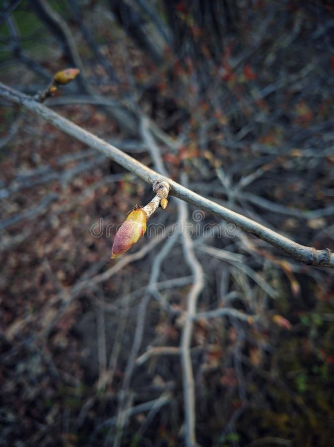 Botão de uma árvore na mola fotografia de stock royalty free