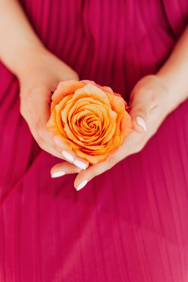 Botão delicado da cor do pêssego da rosa na mão da mulher no fundo cor-de-rosa fotos de stock
