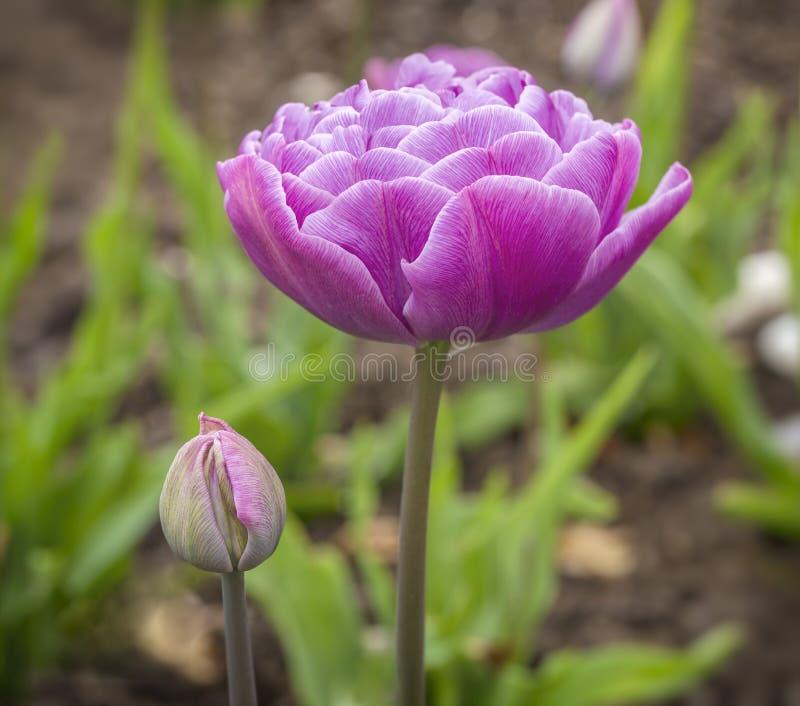 Botão e flor imagem de stock