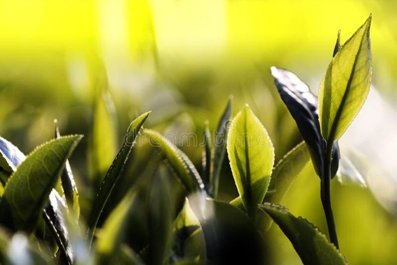 Botão e folhas do chá verde Plantações de chá, Taiwan imagem de stock