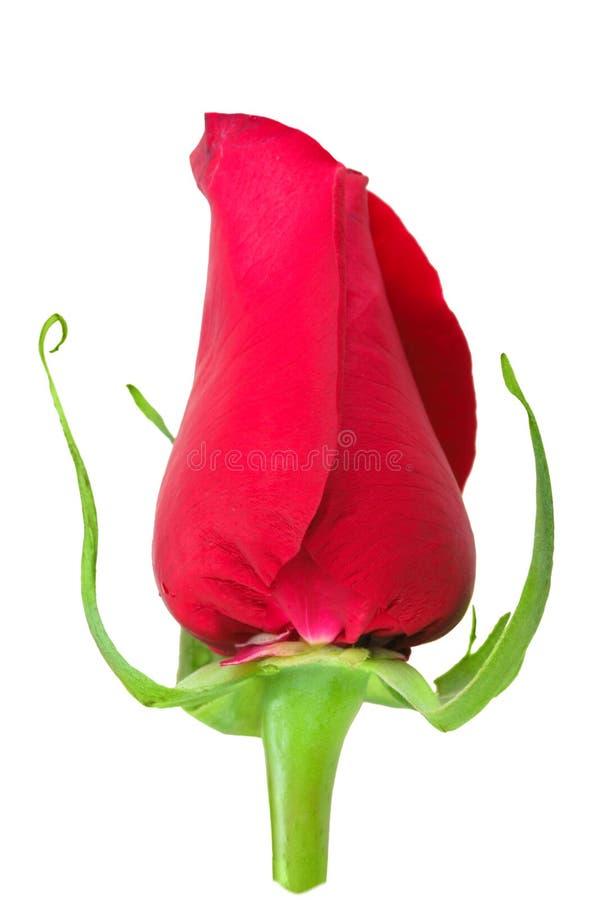 a Botão-flor de levantou-se imagem de stock royalty free