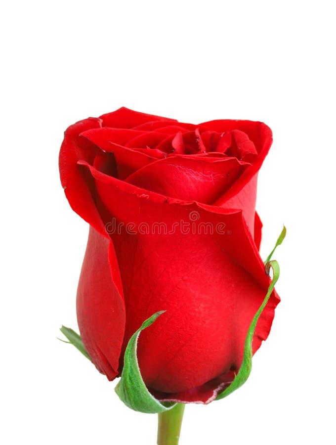 A botão-flor vermelha de levantou-se fotografia de stock