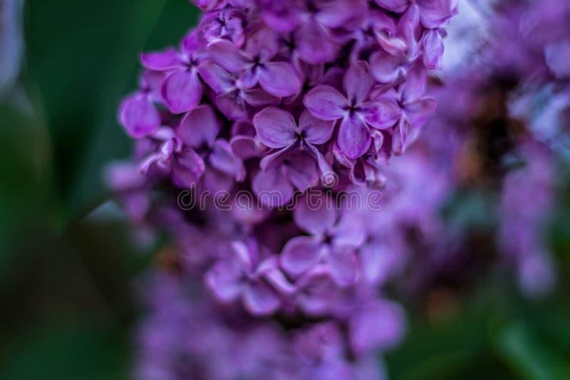 Botão lilás bonito, flores violetas imagens de stock