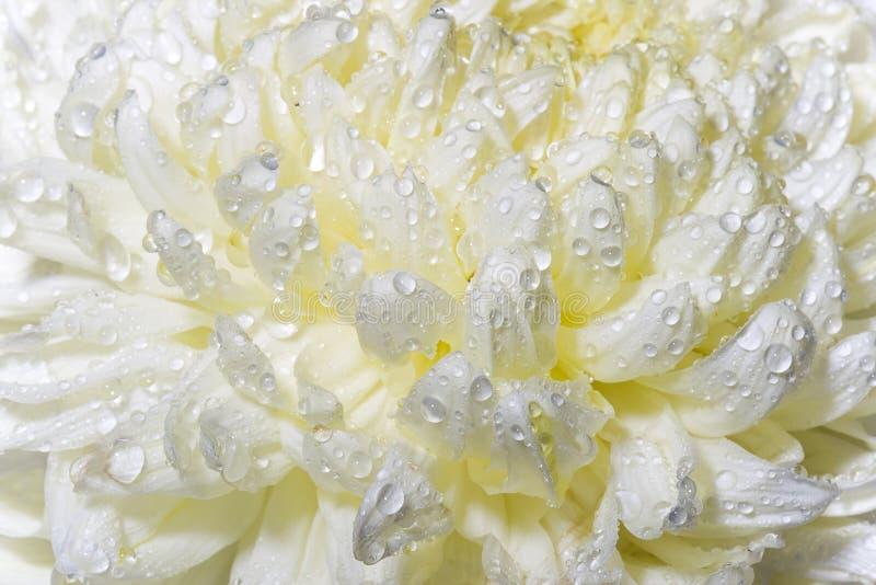 Botão molhado macro do crisântemo do close up fotos de stock