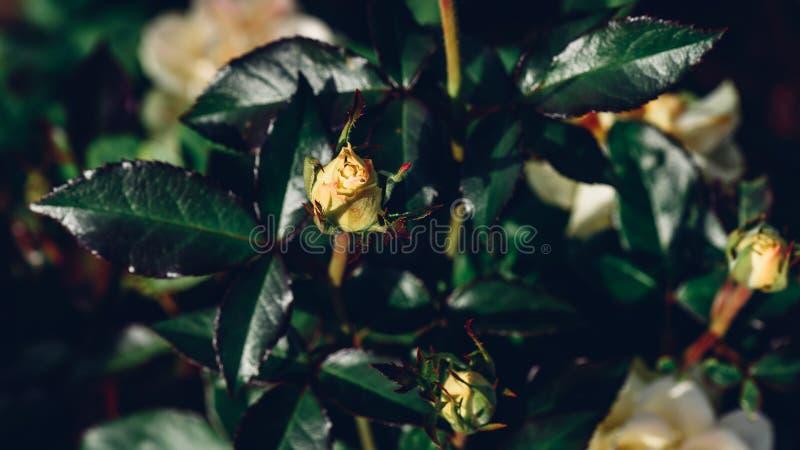 Botão não florescido da rosa branca fotografia de stock royalty free
