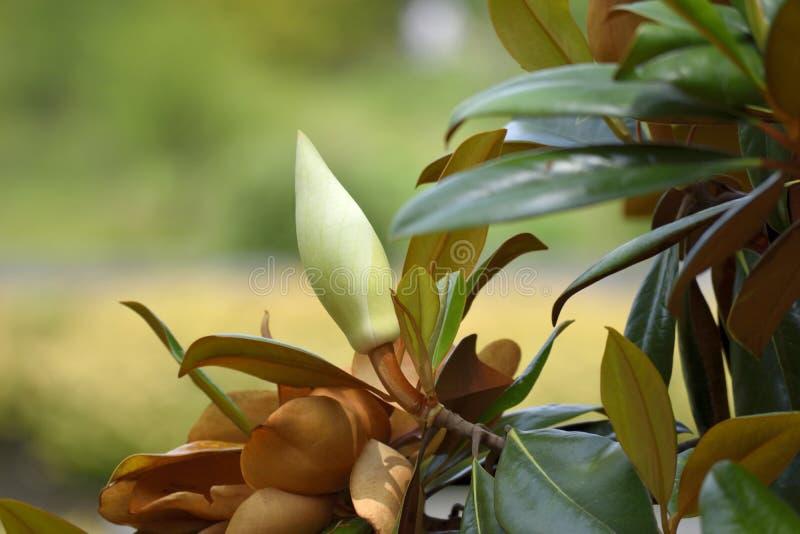 Botão na árvore da magnólia fotos de stock