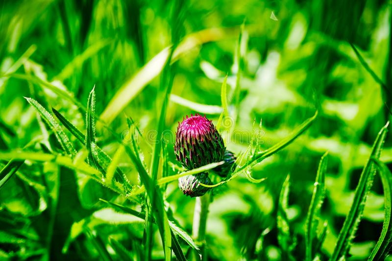 Botão pouco desenvolvido de uma flor do cardo contra um fundo da grama verde fotografia de stock