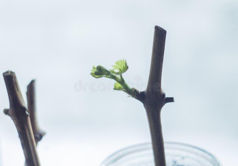 Botão revivido após o wintering, folha nova da uva da uva fotos de stock royalty free