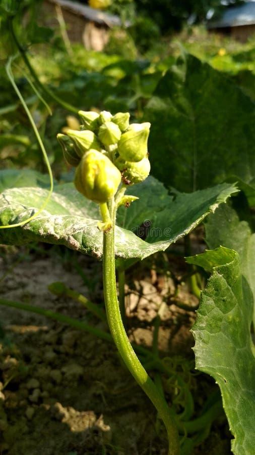 Botão vegetal verde fotografia de stock royalty free