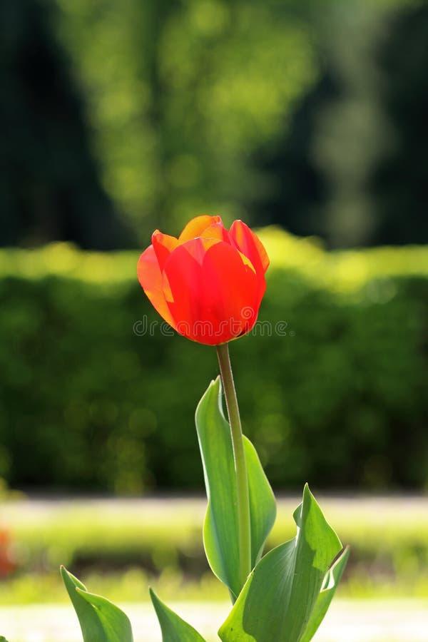 Botão vermelho da tulipa fotos de stock