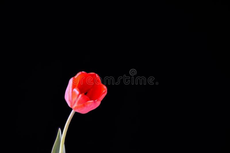 Botão vermelho da tulipa em um fundo preto fotografia de stock royalty free