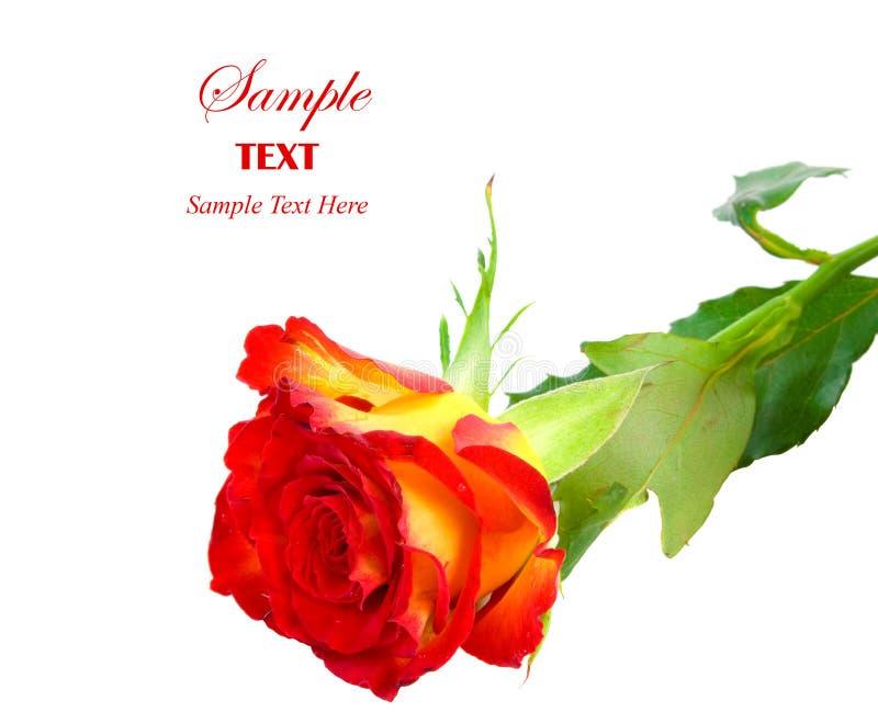 Botão vermelho e amarelo de Rosa com copyspace imagem de stock royalty free