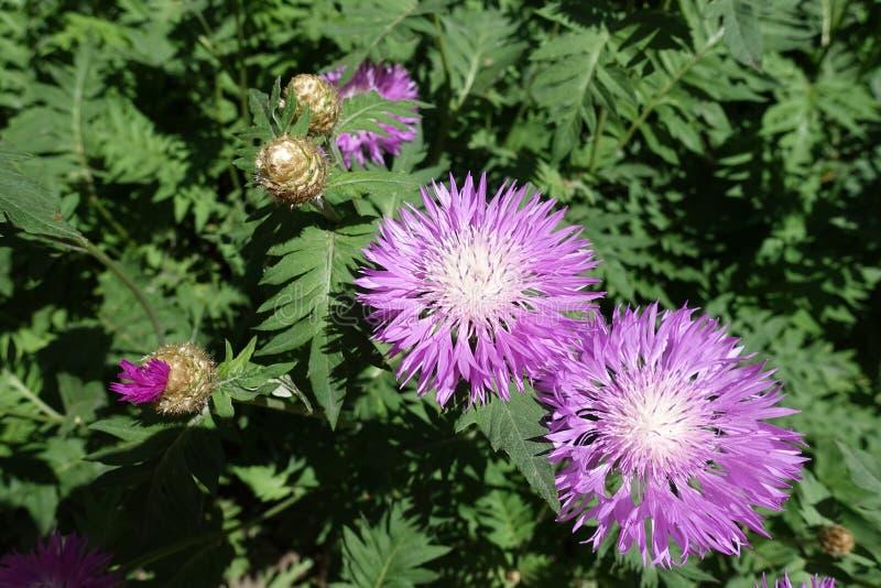 Botões, cabeças de flor e folhas do dealbata do Centaurea fotografia de stock