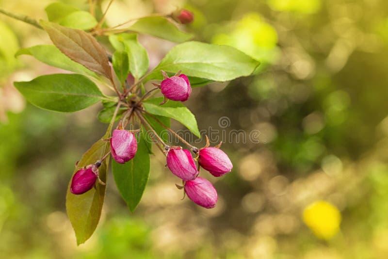 Botões cor-de-rosa delicados do caranguejo de árvores de maçã na mola Árvore de maçã de florescência, botão fechado Cartão do pap imagem de stock royalty free