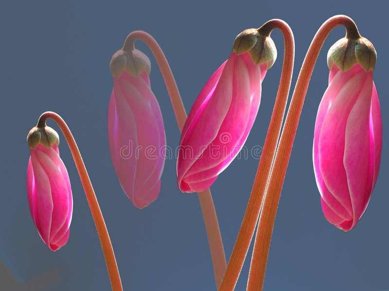 Botões cor-de-rosa luminosos foto de stock royalty free