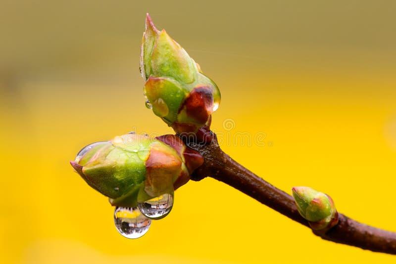 Botões da árvore na chuva de mola imagens de stock royalty free